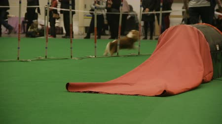 çevik : Long-haired dog at agility competition, trained pet performing tricks, obedience