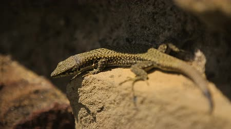 игуана : Small lizard is sunbathing on the stone, wild life close up, zoo exhibition