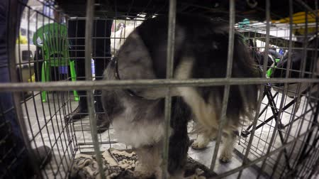 realizing : Disappointed schnauzer rushing in cramped cage, wants to set free from captivity
