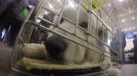 registration : Light colored golden retriever lying in cage waiting for registration at airport Stock Footage