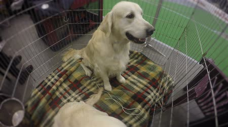 угождать : Cute puppies of retriever obediently behaving to please visitors of kennel Стоковые видеозаписи