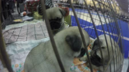 itaat : Funny pug puppies playing and deciding who is head in their flock, cute pets