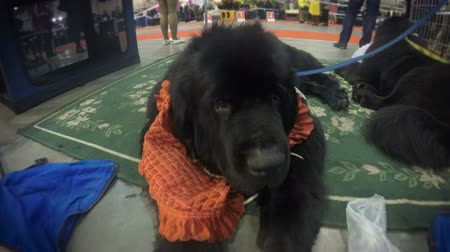 rozmazaný : Cute puppy of newfoundland quietly lying on rug resting after demonstration