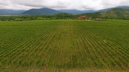 сортировать : Fantastic aerial view of huge vineyard and mountains, viniculture and farming