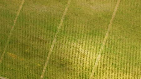 Грузия : Aerial view of green grape rows, family business, agriculture and farming