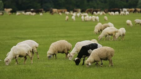 greedily : Fluffy lambs eating lush green grass, rural farming business, wool production