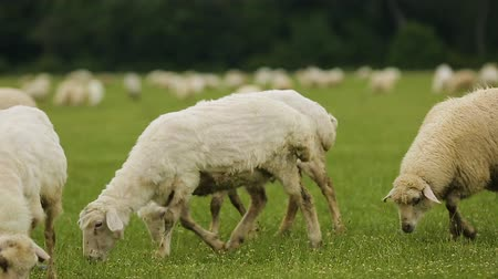 vaca : Flock of fluffy sheep peacefully grazing grass in meadow, cheese production