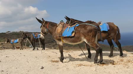 Санторини : Domestic riding donkeys standing tied up to poles at animal terminal, transport Стоковые видеозаписи