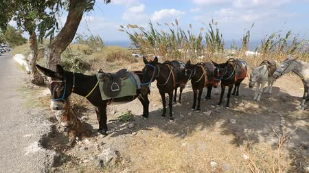 another : Line of equipped donkeys tied up one to another standing on shoulder of road