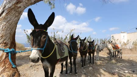 another : Riding donkeys standing one after another in line, animals as means of transport Stock Footage