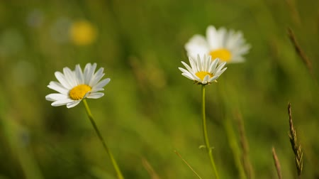 tincture : Chamomile flowers on green summer meadow high in mountains, natural herb blossom