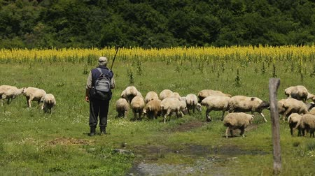 sheepfold : Male shepherds grazing big flock of sheep, life in mountainous countryside