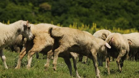 ewe : Cheerful curly sheep jumping and running around field choosing delicious herb Stock Footage