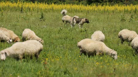 sheepfold : Smart dogs leading sheep, helping to shepherd, rural economy, animals breeding Stock Footage