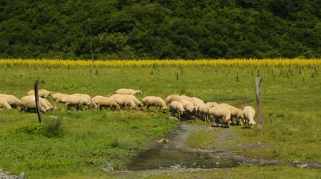 sheepfold : White sheep flock grazing in mountains coming to drink water from small stream Stock Footage