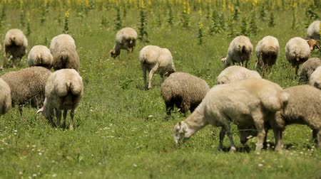 sheepfold : Flock of sheep peacefully eating luscious green grass, grazing on summer meadow