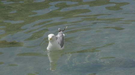 fed : Seagull with white and light grey feathers floating on waves and shaking head Stock Footage