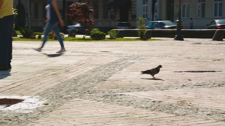 colombe : Pigeon looking for food on central square, people passing by, sunny day in city