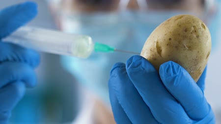 suplemento : Agriculture lab worker making injection to potato before planting, fertilization