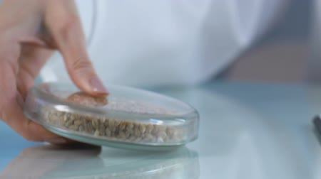 kabuksuz tahıl : Scientist examining testing sample of wheat grains, breeding new varieties