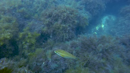fascinante : Fish moving over boulders covered in seaweeds, underwater flora and fauna, ocean