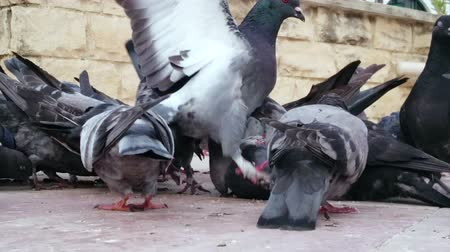 madárinfluenza : Flock of pigeons eating bread at central city square, unsanitary conditions