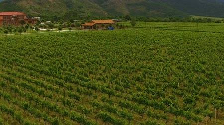 viticultura : Grapes rows on green plantation in mountain valley, winemaking agriculture