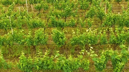 viticultura : Field planted with grapes, winemaking industry, folk craft, Georgia agriculture