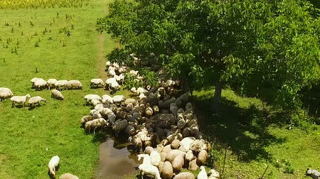 regenwater : Flock of sheep grazing in meadow eating fresh green grass and drinking rainwater
