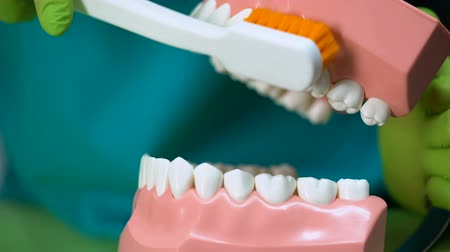 plaketa : Dentist cleaning jaw model with toothbrush, teaching dental care, close up