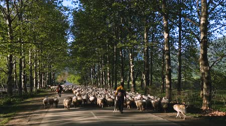 kaukázus : Shepherd guarding herd of sheep, sale of wool, cheese production, Georgia