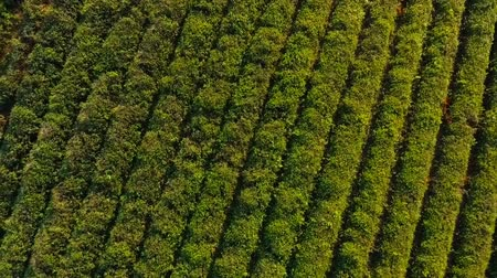 fábrica : Aerial view of even rows of tea plants on plantation, export goods production