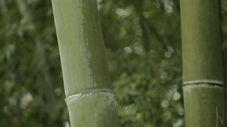 шуй : Powerful green stems of bamboo, untouched nature, tropical climate. Стоковые видеозаписи