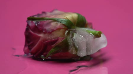 disinterest : Rose freezes with ice indifference, lie, death of love and relationship, closeup