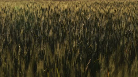 devastated : Dark wheat stems, plant diseases, crops after insects invasion, poor harvest Stock Footage