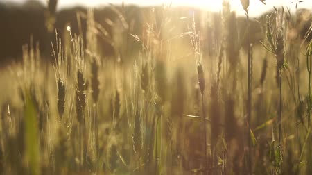 seedlings : Wheat crops lit by sun, breeding of organic varieties, agriculture harvest