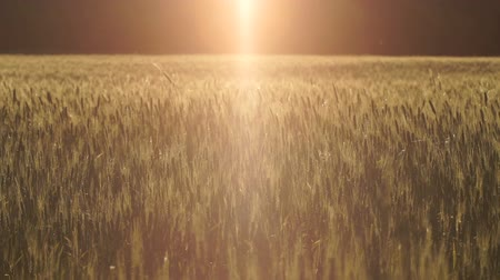 mysticism : Bright ray of light falling on wheat field, wind swinging grass.