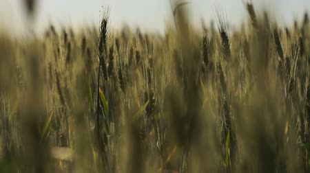 fruitful : Organic wheat breeding for export, national agriculture industry, fertile land