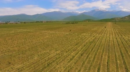 seçkinler : Alazani Valley in Georgia, wine business and export, grape variety, aerial view Stok Video