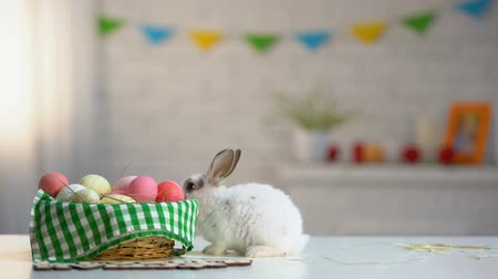 zvědavý : Colorful eggs basket with cute Easter rabbit on table, holiday greeting, animal Dostupné videozáznamy