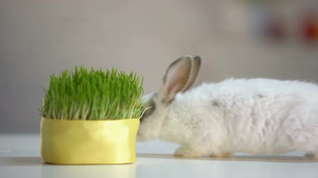 zvědavý : Cute fluffy bunny biting grass plant, organic pet nutrition, planet environment