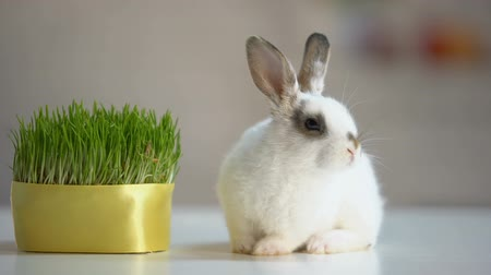 крошечный : Adorable fluffy bunny sitting on table near green plant, herbal pet nutrition
