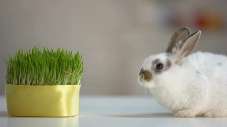 owies : Cute domestic rabbit sitting table near green plant, healthy pet diet, ecology