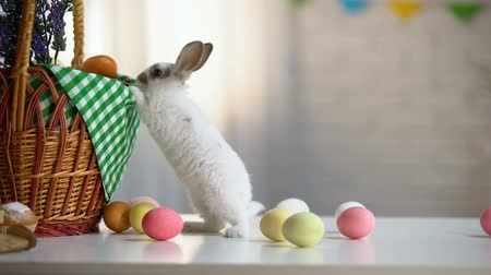 イースターエッグ : Curious Easter bunny near basket and colored eggs, spring religious festival
