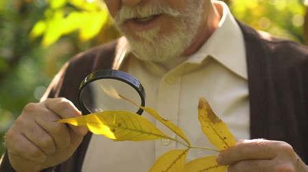 vzácný : Old curious man looking on leaf through magnifying glass, scientific project