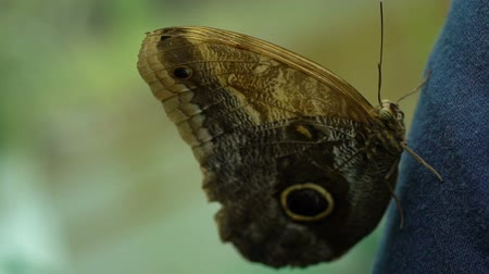 энтомология : Caligo memnon beautiful exotic butterfly from South America, insects as pets