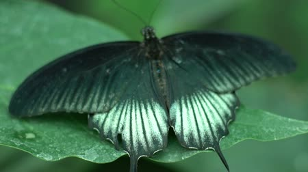 güve : Green black white beautiful exotic butterfly spreading wings, insects as pets Stok Video