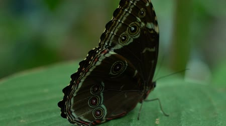güve : Beautiful rare butterfly sitting on leaf sideways, entomology science, close-up Stok Video