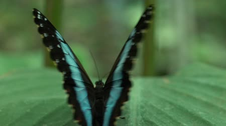 güve : Rare butterfly spreading beautiful wings, sitting on leaf, insects, entomology Stok Video