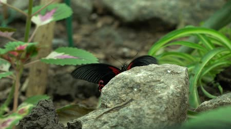 энтомология : Beautiful exotic red black butterfly sitting on stone, insects pets, entomology Стоковые видеозаписи